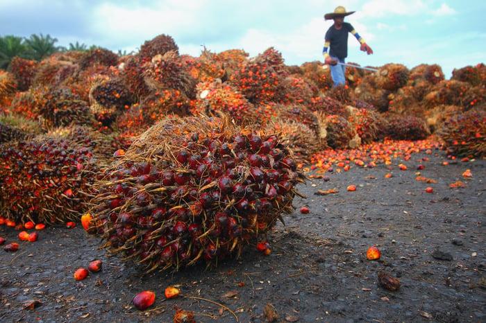 Palm oil bunch